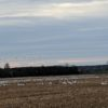 Snow and Canadian Geese outside Maxville