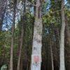 11-Tree-Eastern-White-Cedar